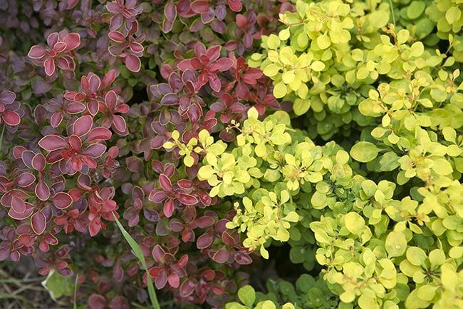Low-maintenance-plants-barberry-shrub