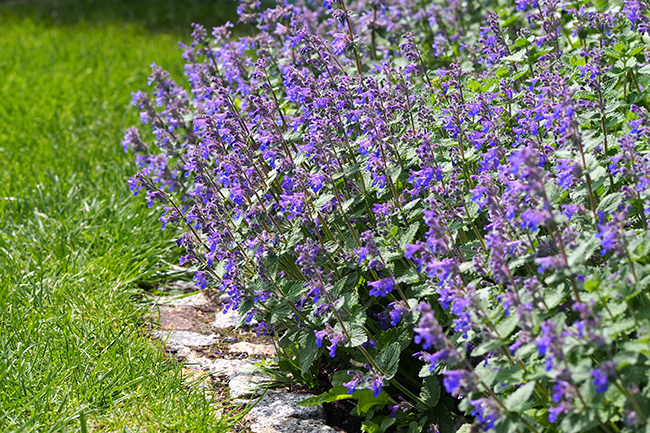 Low-maintenance-plants-catmint