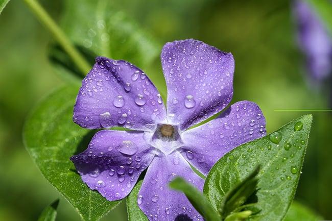 Low-maintenance-plants-geranium-brookside-1