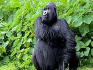 800-pound-gorilla-skipped-lunch-listing.jpg